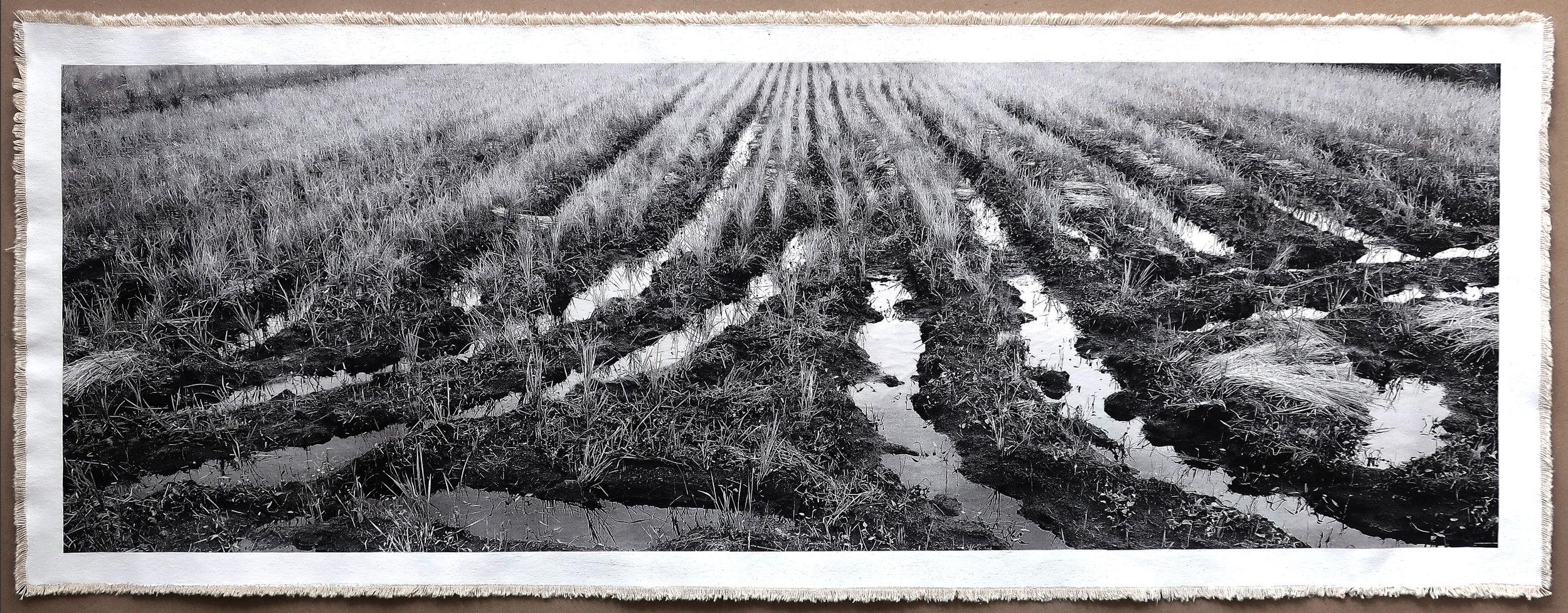 Rice Field, Aso I