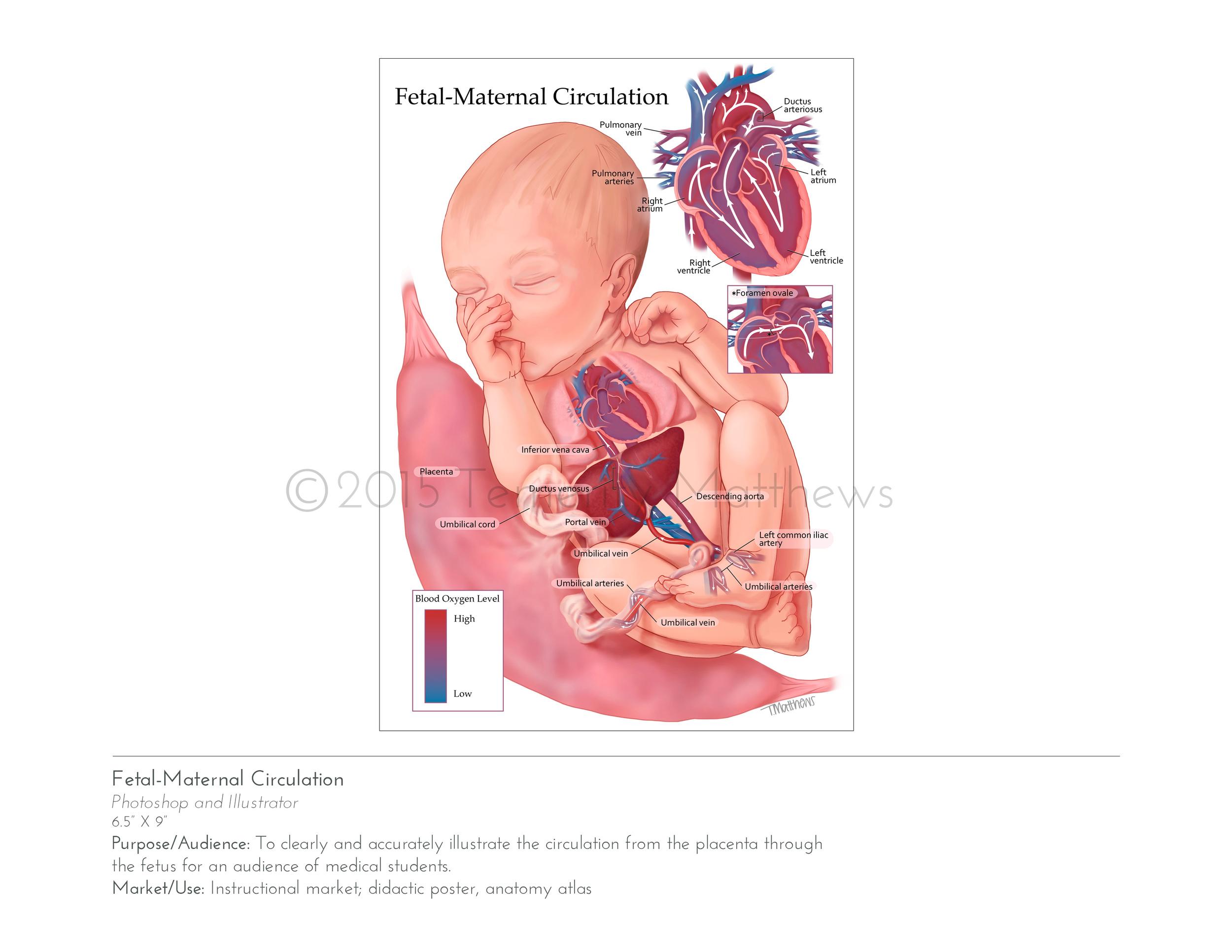 fetalmaternal.jpg