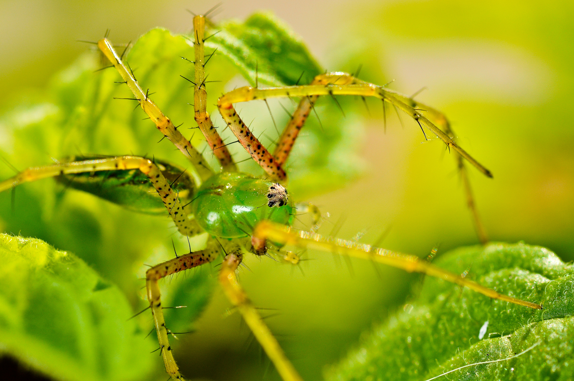 clear spider macro.jpg