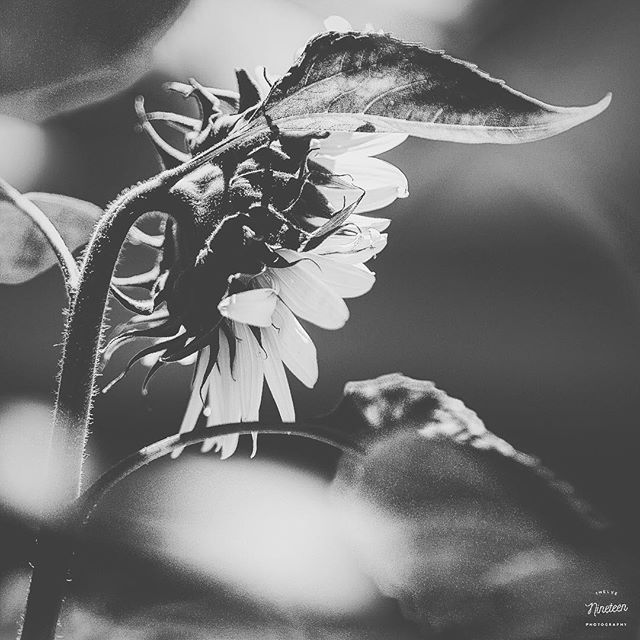 Like me, she chases light... . . . . #1219photography #teamcanon #sunflowers #bnw #blackandwhite