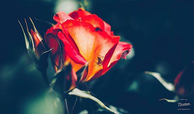 Along came a 🕷 . . . #1219photography #rosegarden #california #roses #spiders #pentax #sigma