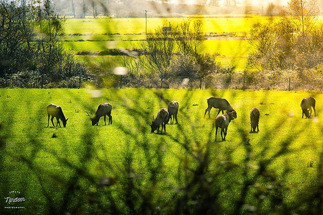 Chasing Elk . . . #1219photography #tbt #teamcanon #exploreoregon #elk #nature #openland #pnw #canon #roadtrip