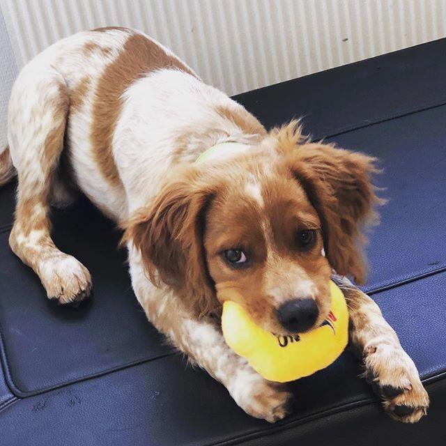 God helg alle sammen 😀Denne skjønne valpen fant en hundeleke på 16. ukers vaksinen sin, lykke 🤩 #roykendyreklinikk #norway #cute #dog #breton #puppy