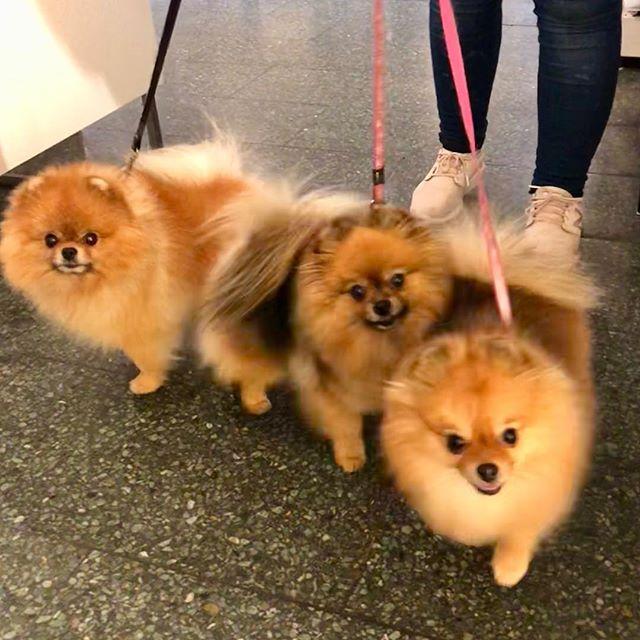 Denne flotte gjengen ønsker dere alle en super uke 😍#roykendyreklinikk #norge #pomeranian #dog #sweet #beautiful