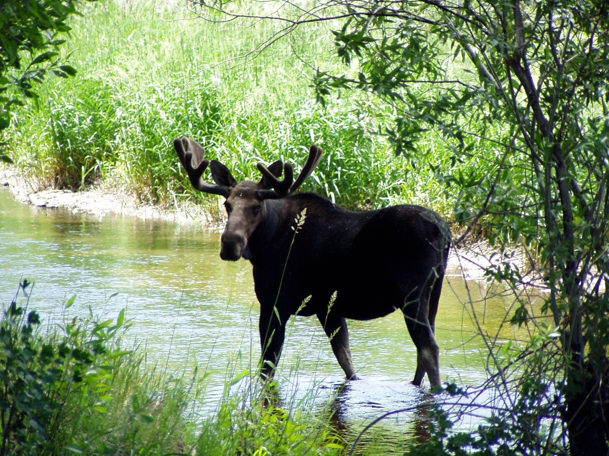 good moose.jpg