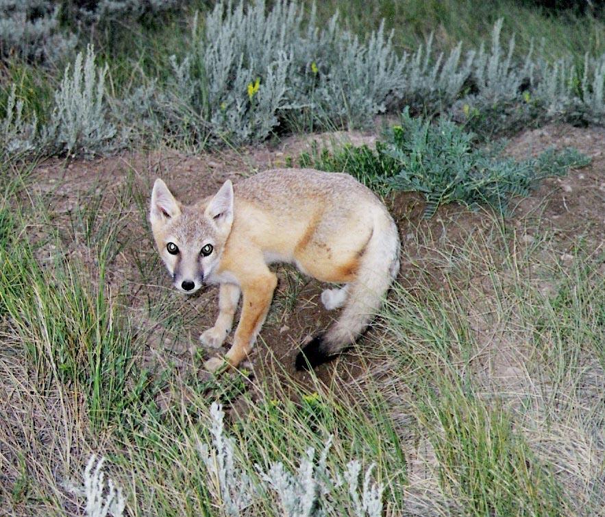 swift_fox.jpg