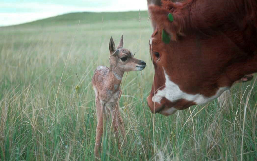 Pronghorn talking with cow (2)_1.jpg