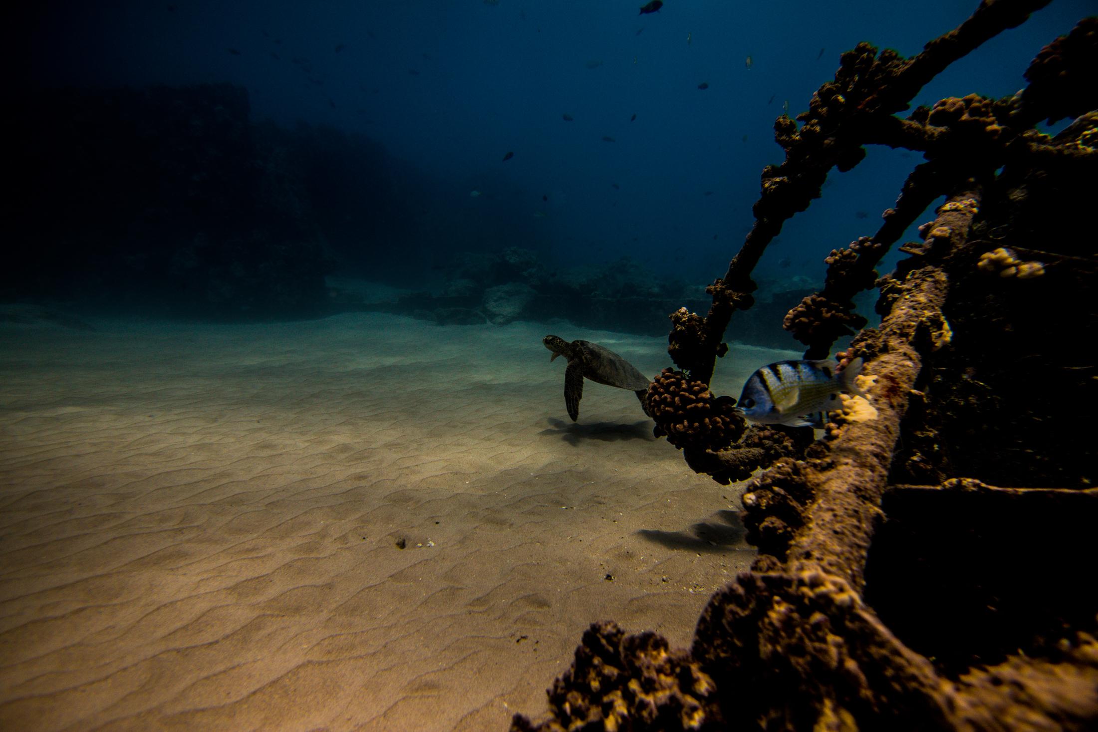 Turtle by Ocean Wreck