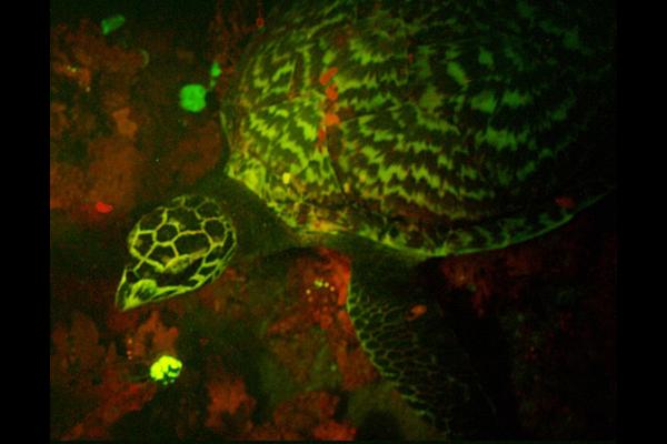 biofluorescent turtle