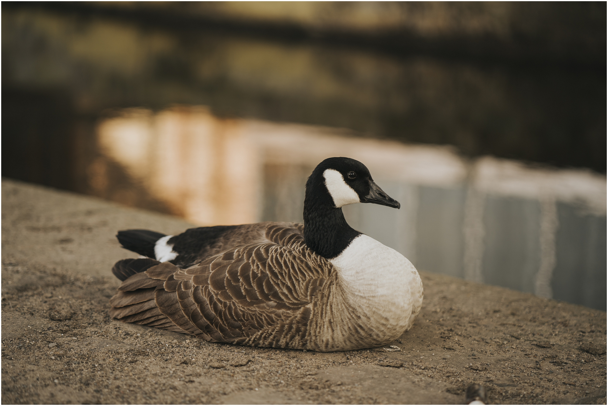 canal goose