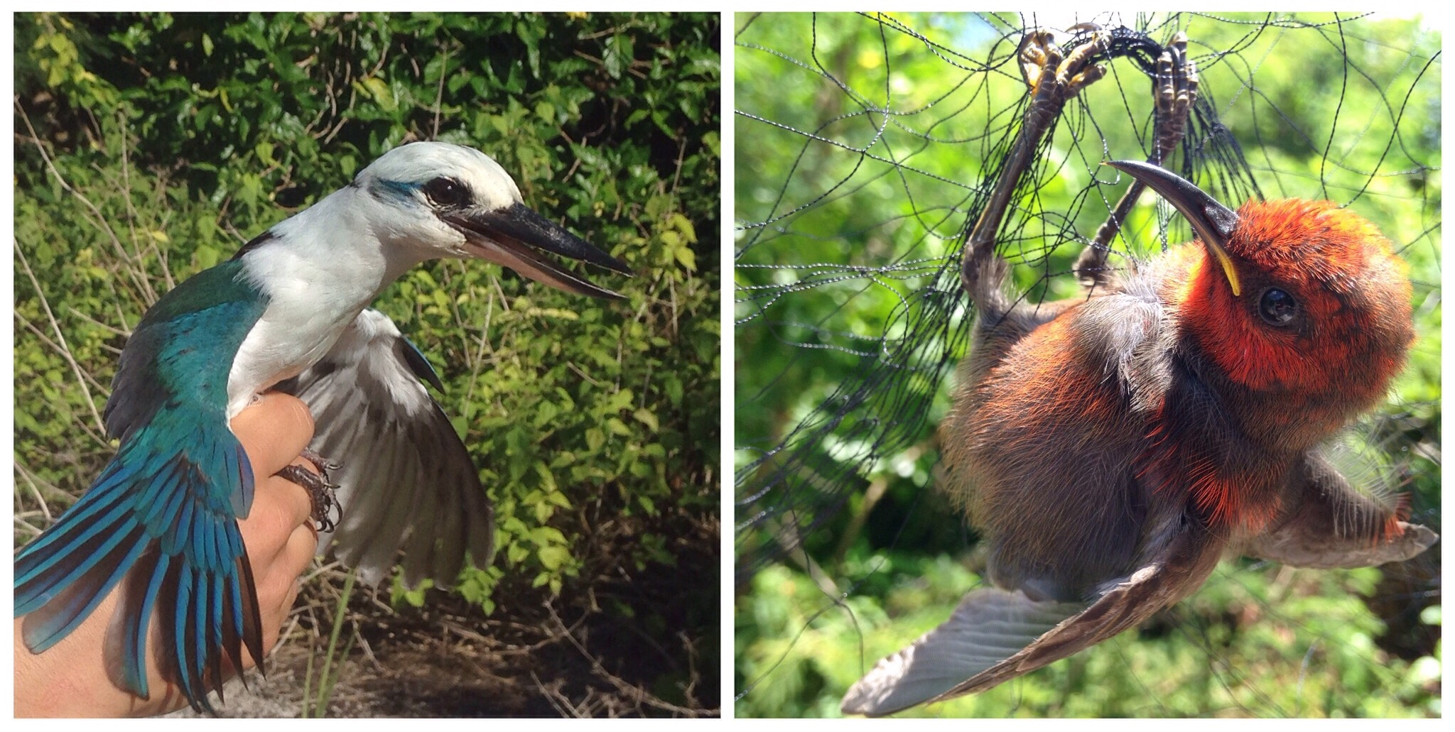 collared kingfisher and a juvenile micronesian honeyeater