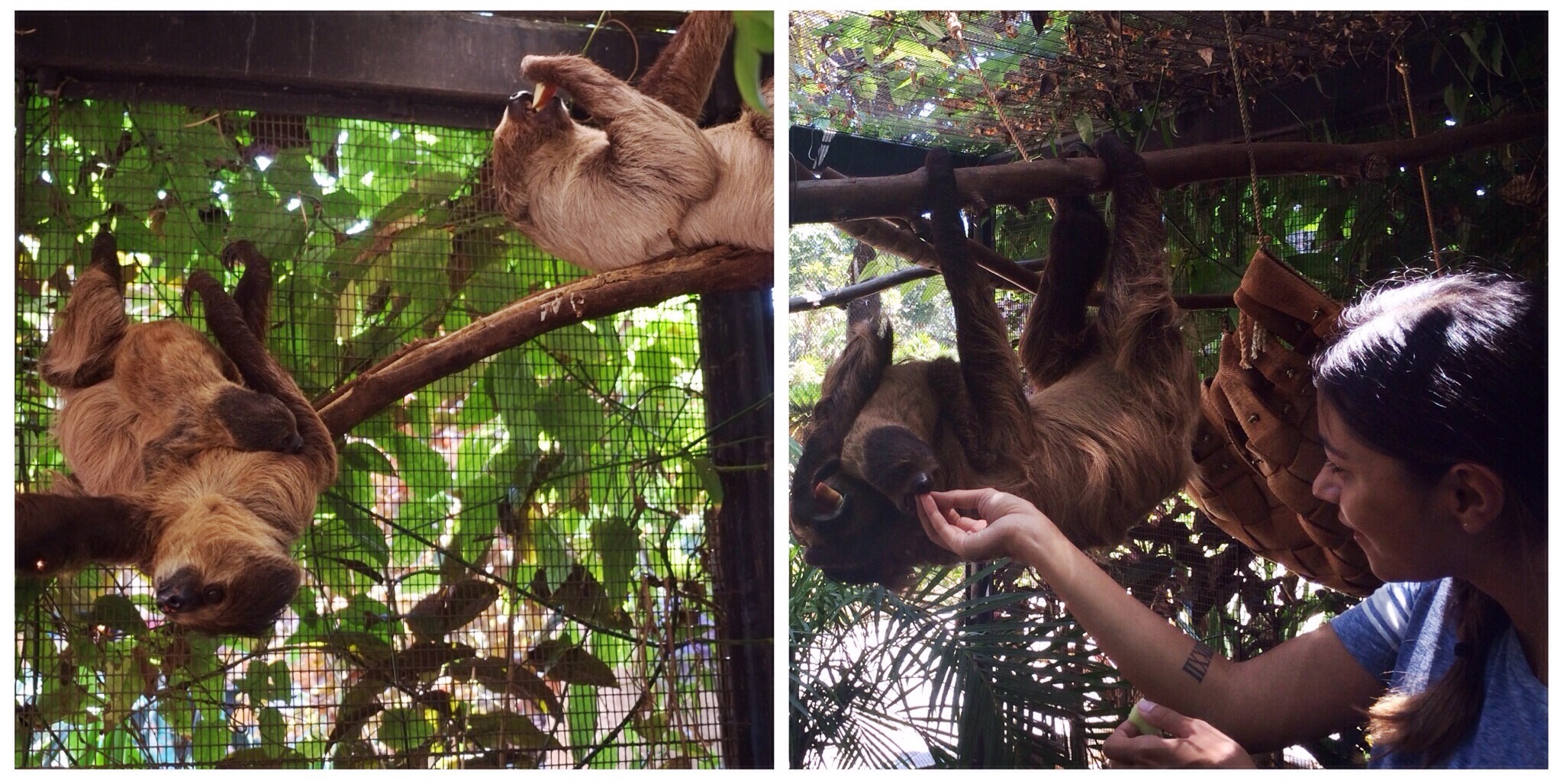 Honolulu Zoo - Harriet the Linnaeus's two-toed sloth introduced me to her offspring that was born in April '15. (Top ten favorite moments of my life.)