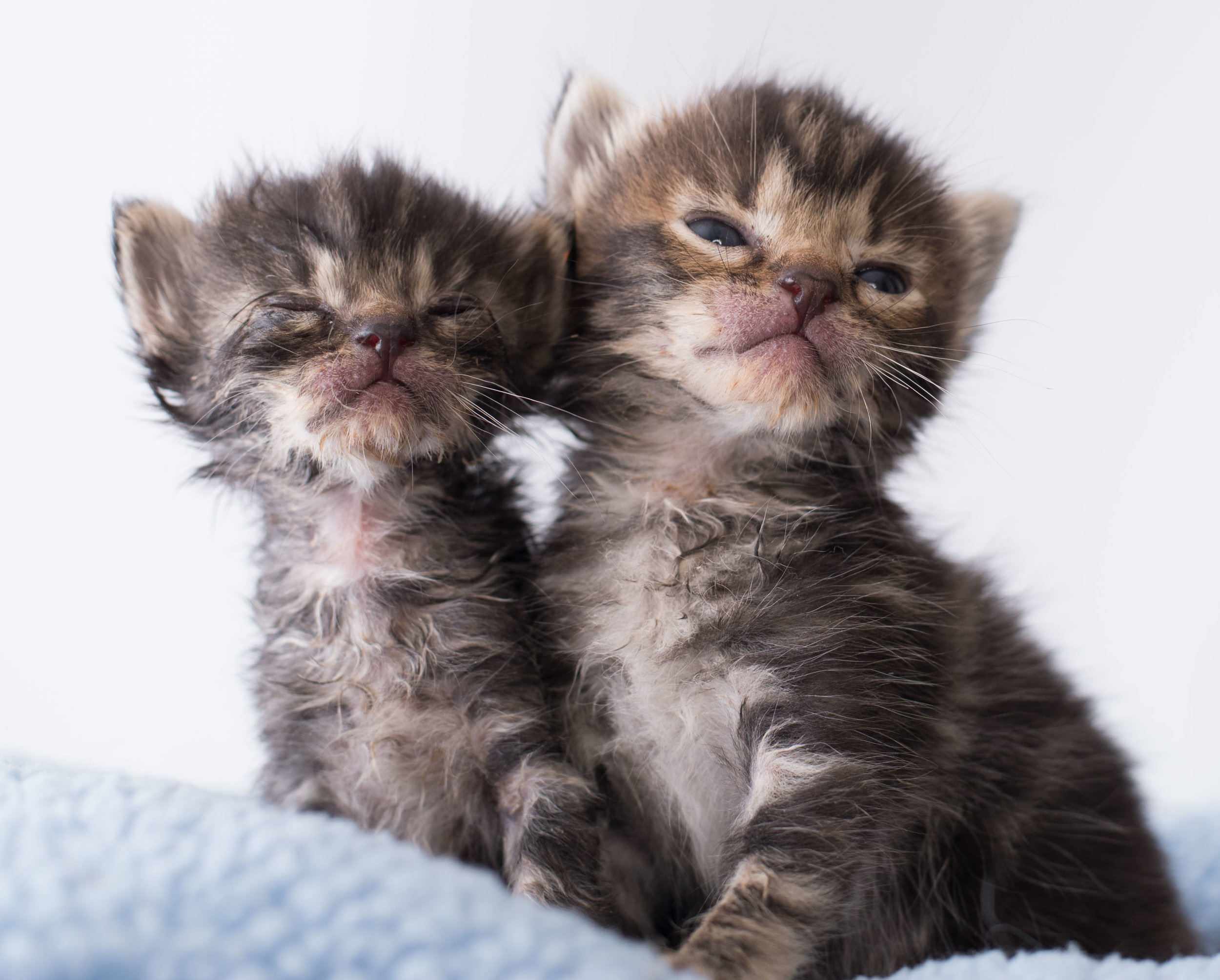 0d2502f4f If you've rescued a kitten that has discharge from the nose and/or eyes,  and you're hearing frequent sneezing or other respiratory noises, ...
