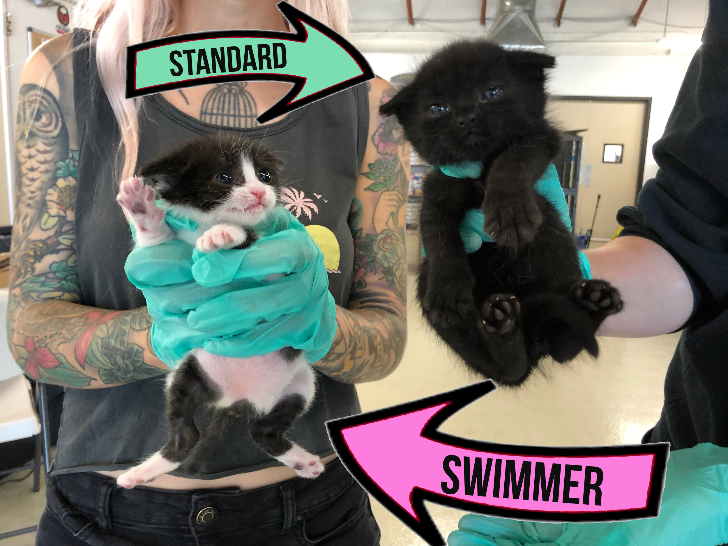 On the left, a 3 week old kitten with swimmer syndrome. On the right, a 3 week old kitten with standard leg position.