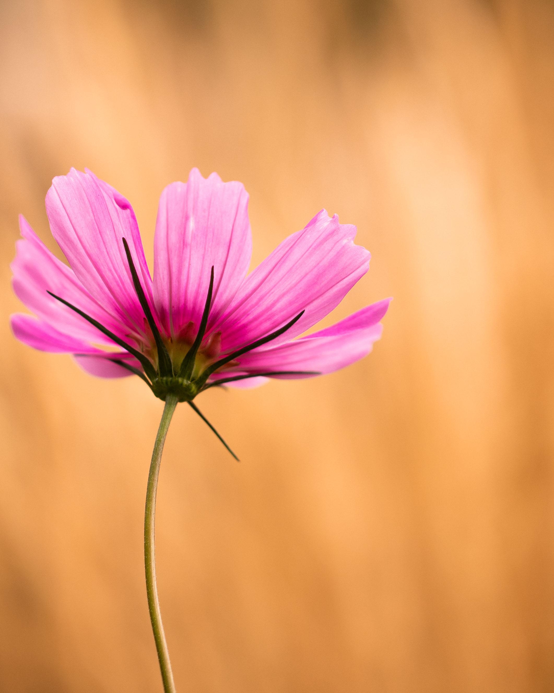 Pink Flower Denver Botanic Gardens-5.jpg
