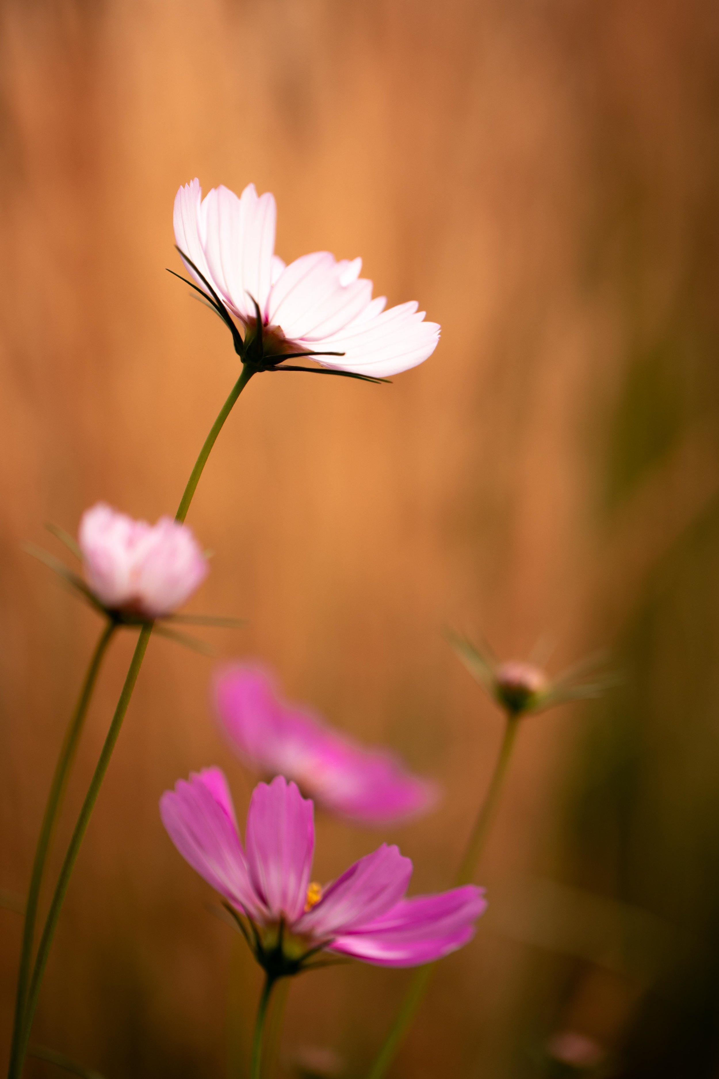 Pink Flower Denver Botanic Gardens-8.jpg