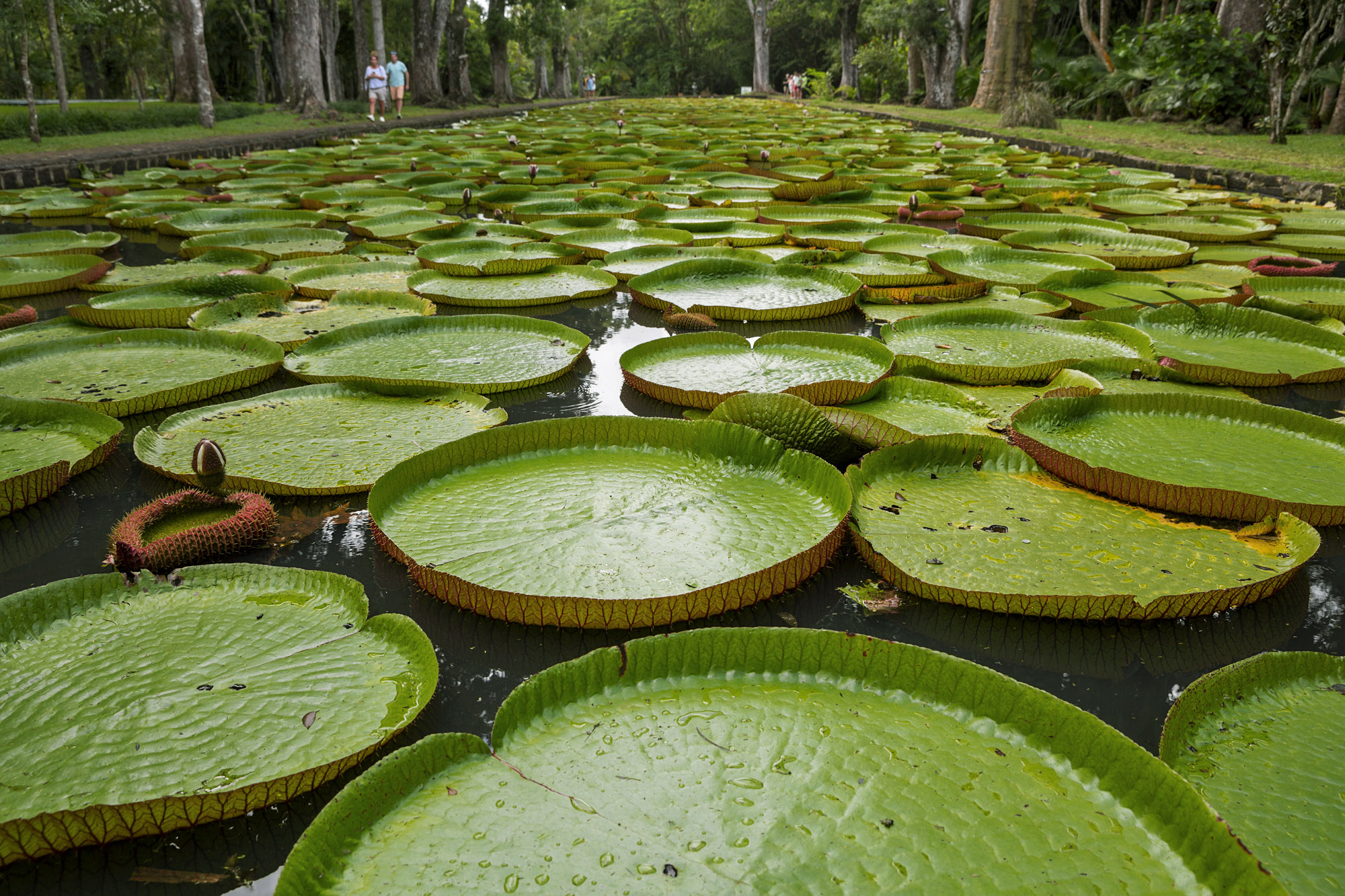 Lilypads - Botanical Garden, Mauritius