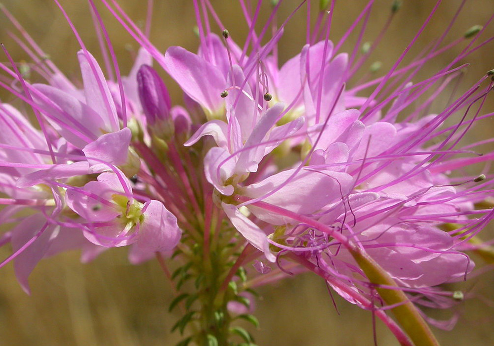 Pink Cleome