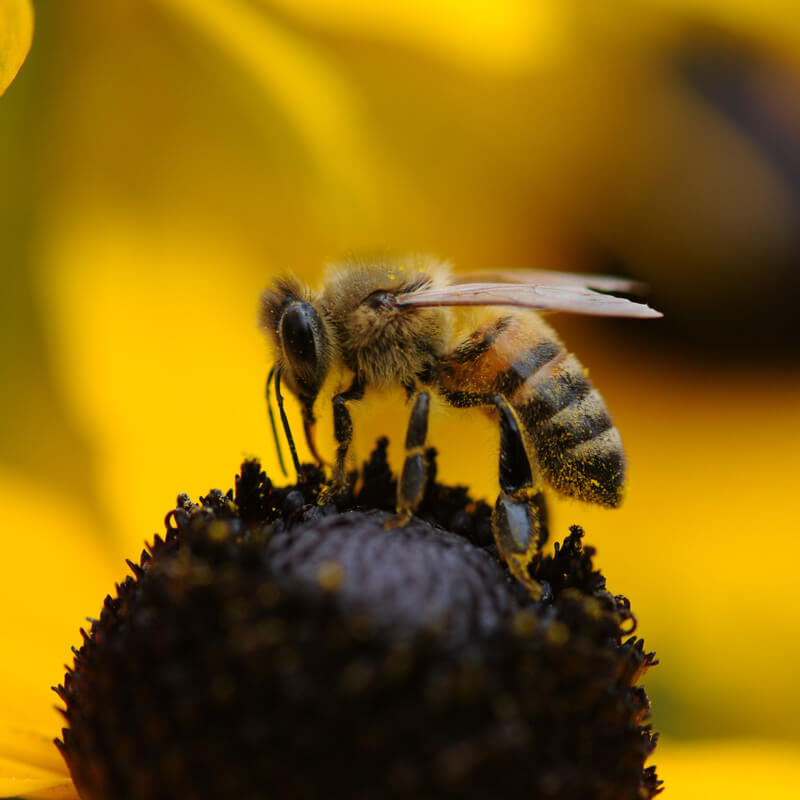 Honey bee in the middle of a flower.
