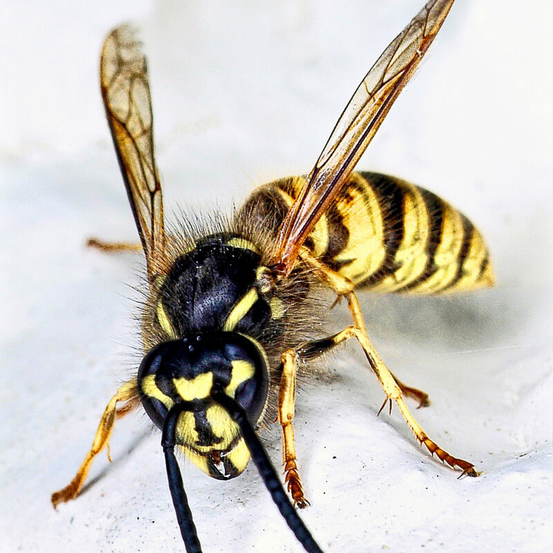 Common wasp (Vespula vulgaris) close-up.