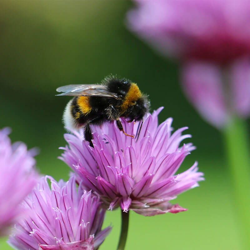 Bumblebee collecting nectar.