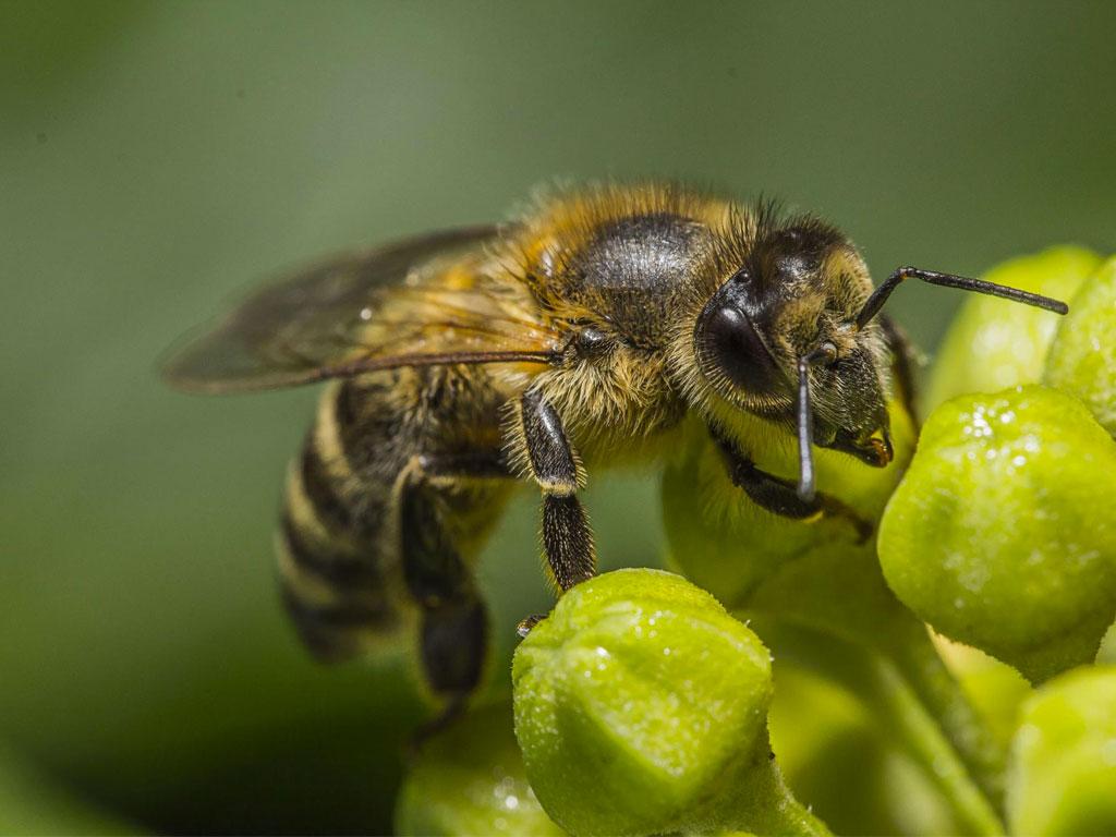 Honeybee-1.jpg