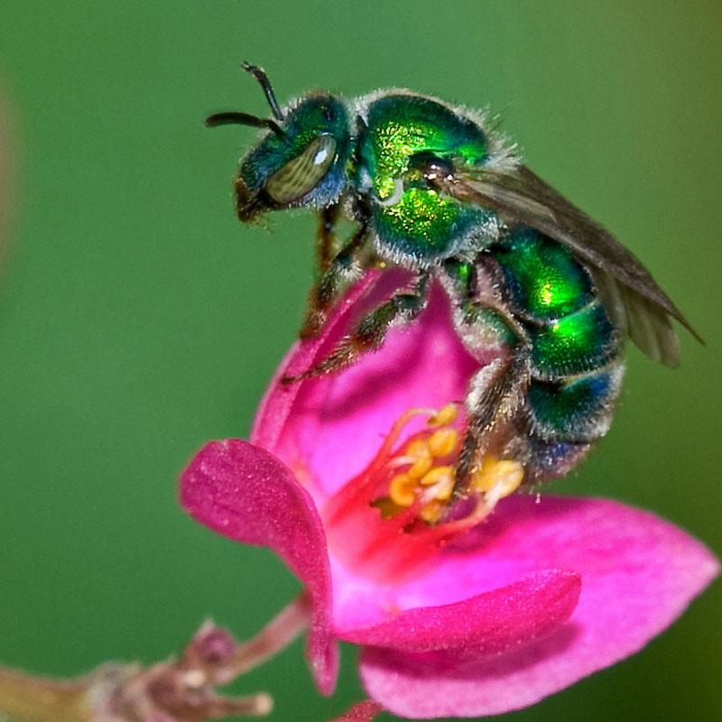 """ Sweat bee on coral vine flower "" by  Jim McCulloch  is licensed under  CC BY 2.0"