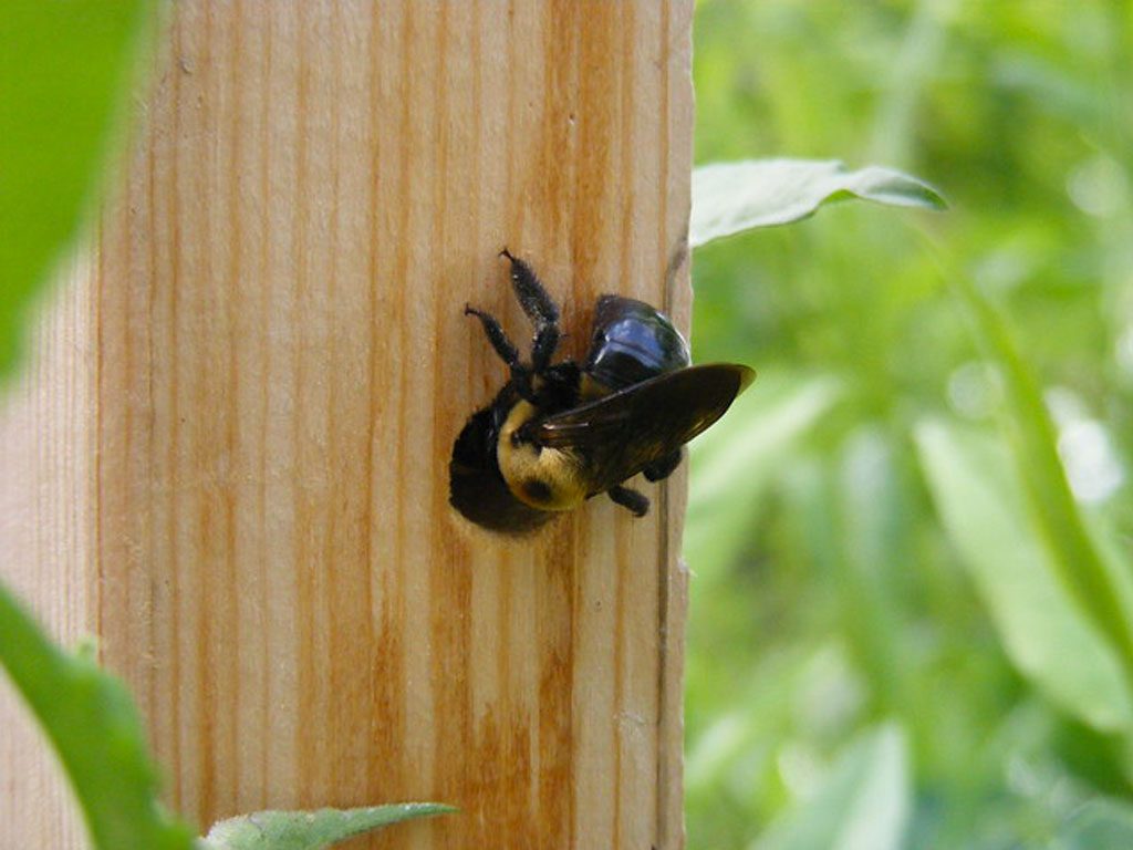 """ Carpenter bees "" by  Helena Jacoba  is licensed under  CC by 2.0"