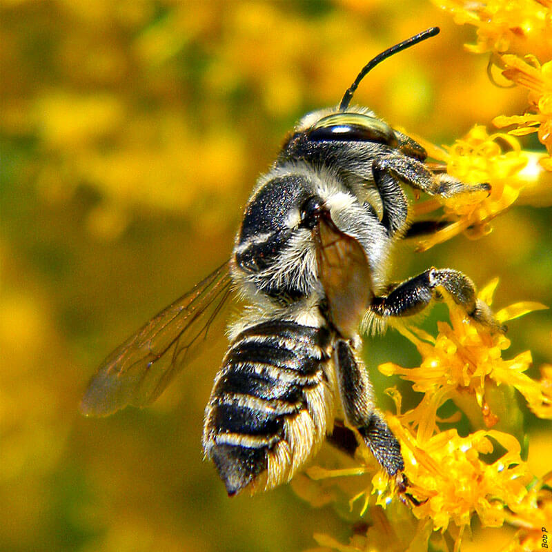 Leafcutter-Bee.jpg