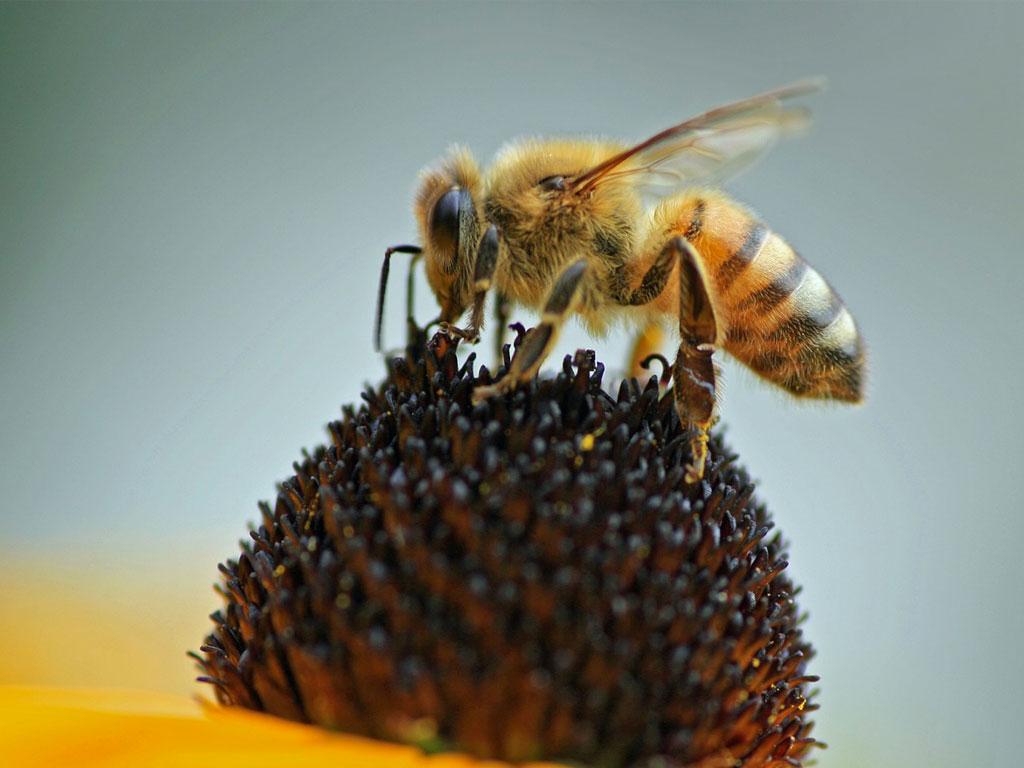 Honeybee-2.jpg