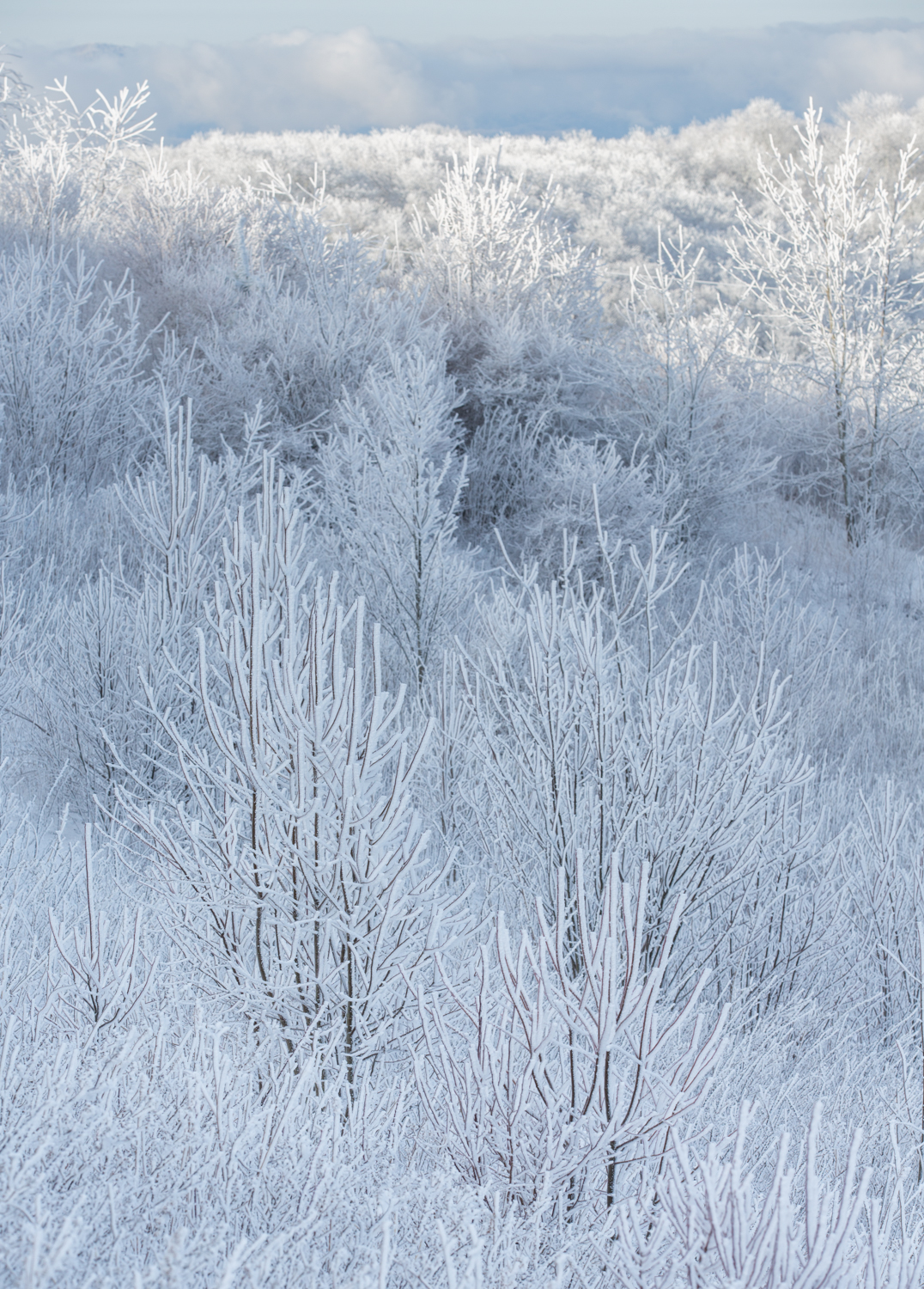 The Frost and the Boughs 12