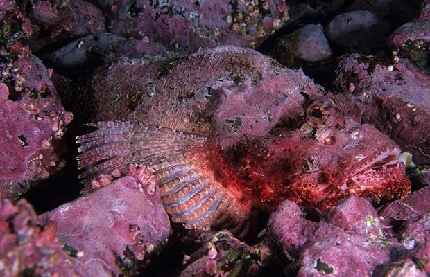 Pacific Spotted Scorpion Fish