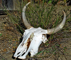 In order to dramatize the early droughts for his TV viewers, Sandy used this skull on the nightly news to get the public's attention.