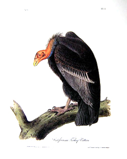 The buzzards (more correctly termed turkey vultures) grew so fat during the 1863-1864 drought that they could only waddle.