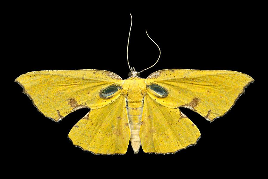 Corymica spatiosa-A-900x600.jpg