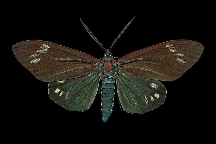 Cyclosia papilionaris-A-900x600jpg