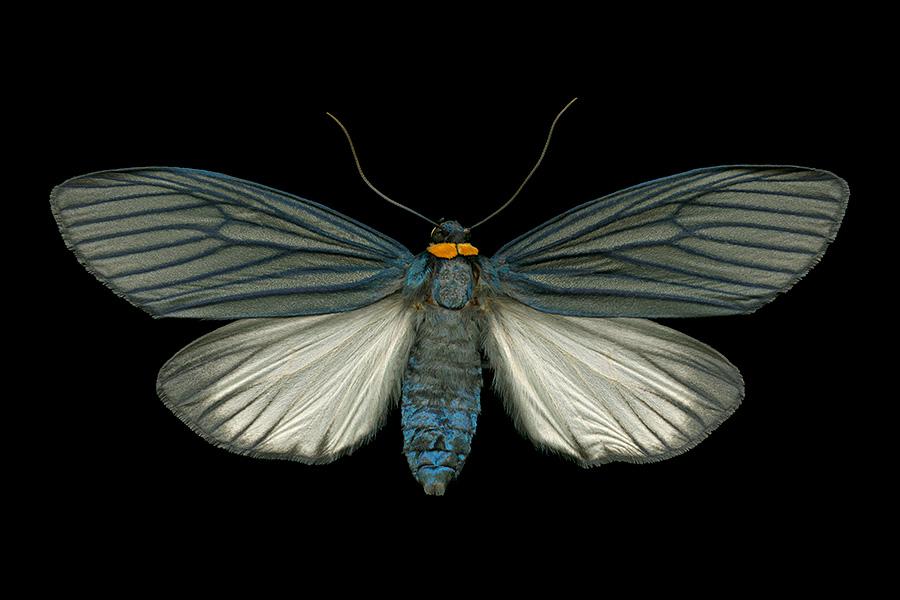 Macrobrochis fukiensis-A-900x600.jpg