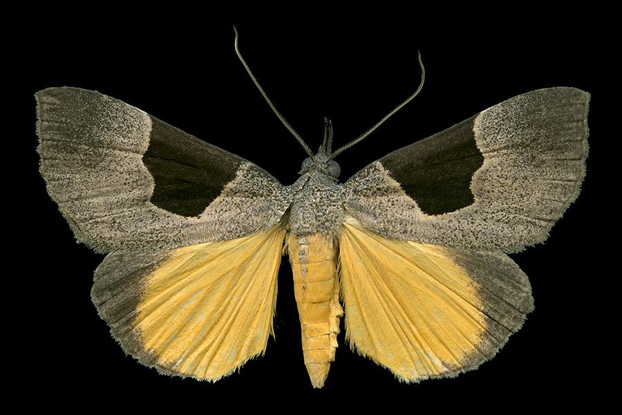 Dichromia sagitta-A-900x600.jpg