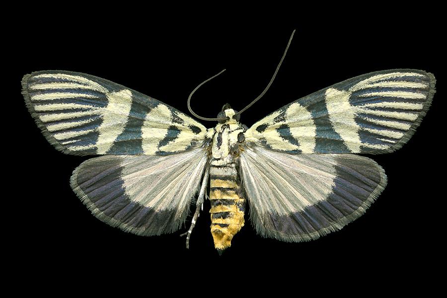 Heortia vitessoides-A-900x600.jpg