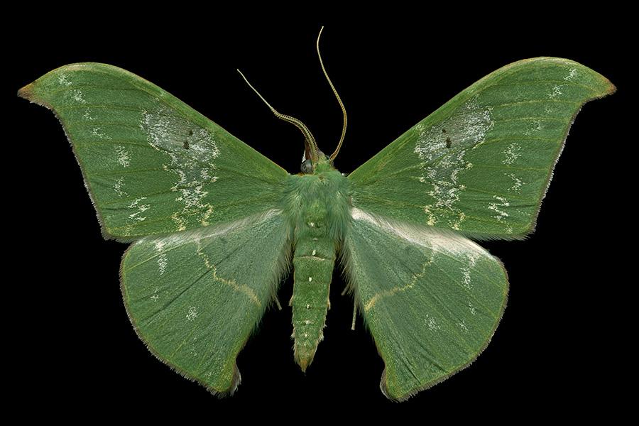 Tanaorhinus viridiluteata-A-900x600.jpg