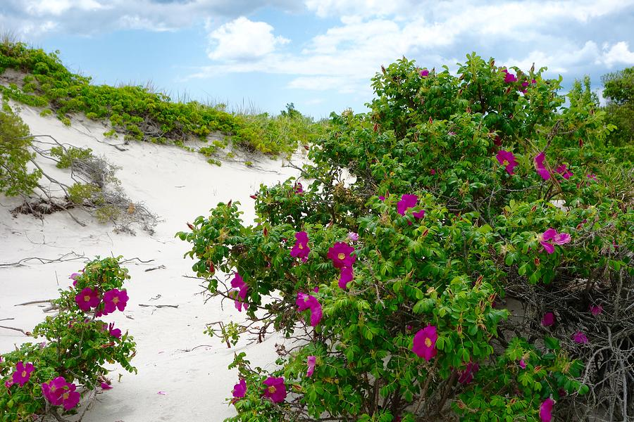 rosa-rugosa-dunes-howard-rose.jpg