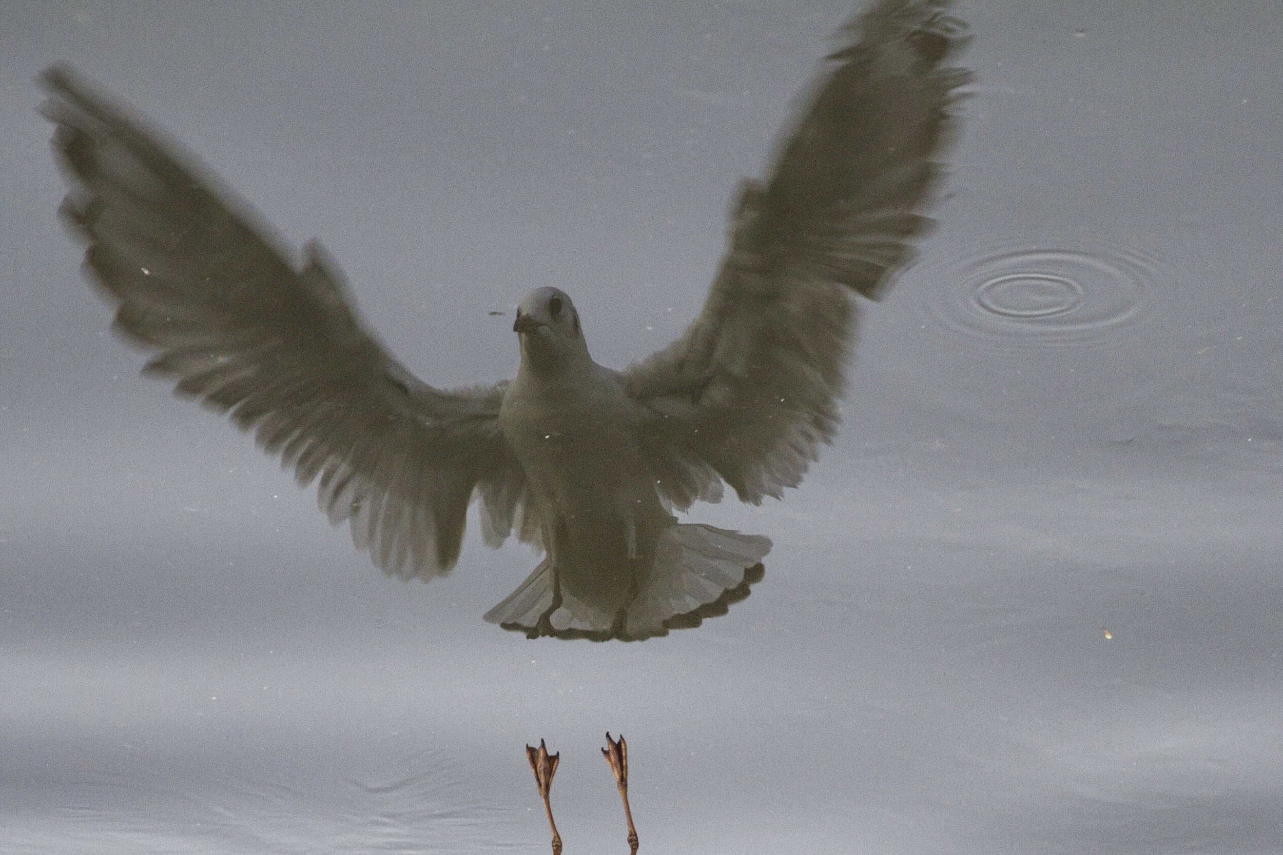 refleksija ptice ptica voda leti obrt.jpg