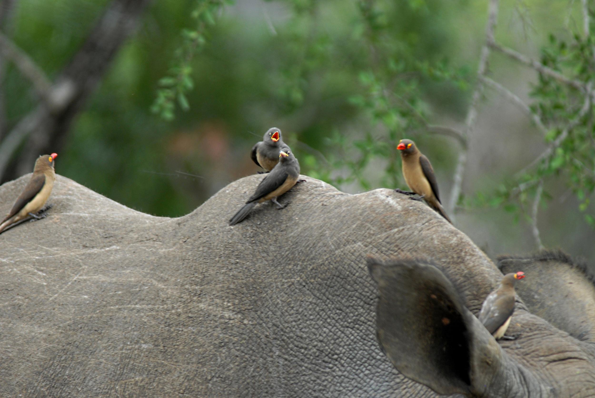 white rhino's feathered friends.Imfolozi