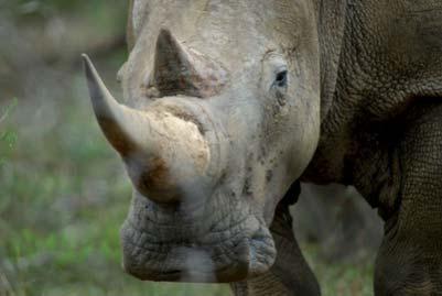 white rhino close encounter.Imfolozi