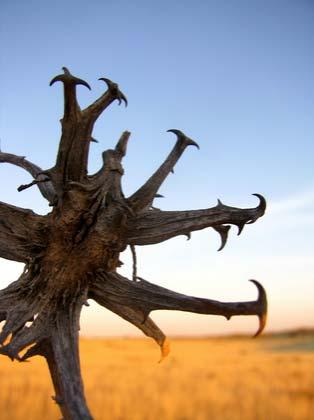 devils claw .Kalahari