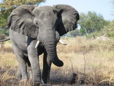 bull elephant challenge.Okavango Delta
