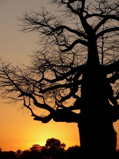 framed bya fantastic sunset .Okavango Delta