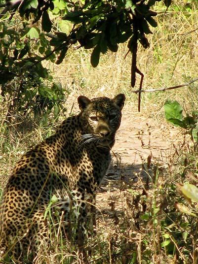 the elusive leopard .Imfolozi