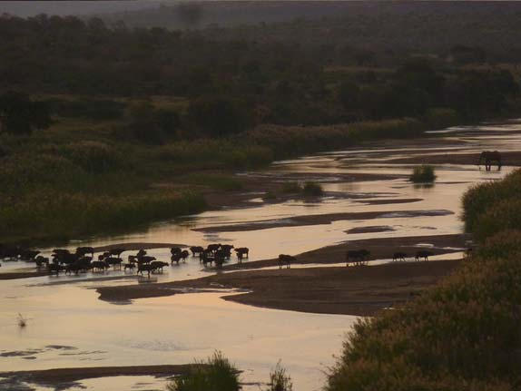 water buffalo migrating at sunrise .Imfolozi