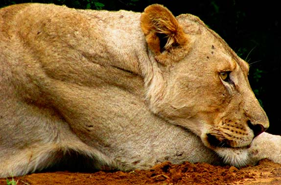 relaxed lioness capturedwith  long lens . Imfolozi